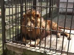 Лъвът, разбира се, е кралят на зоопарка.