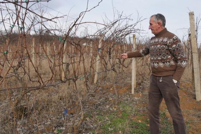 Лозето на Тодор в Боровци пази старите български сортове